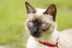 Siamese cat. Close-up of a Siamese cat Stock Photos