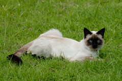 The siamese cat. Siamese cat on the grass Stock Photos