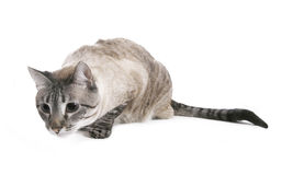 Siamese Cat. A beautiful siamese cross female poses on a stool stock photos