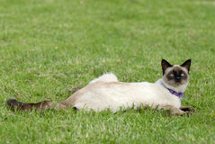 The siamese cat Royalty Free Stock Images