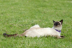 The siamese cat. On the grass royalty free stock images