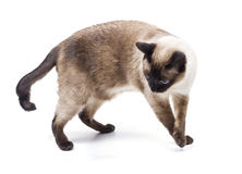 Siamese cat. Played in the studio on a white background Stock Photo