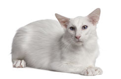 Siamese cat, 2 years old, lying Stock Photos