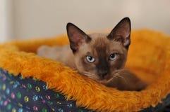 Siamese cat. Portrait in den stock image