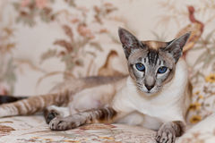 Siamese cat. A beautiful, elegant Siamese cat reclining on a sofa Royalty Free Stock Image