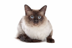 Siamese cat. In front of a white background royalty free stock image