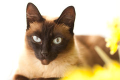 Siamese cat. Young female of siamese cat waiting for owners Stock Photos