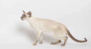 Siamese cat. Against white background Stock Image