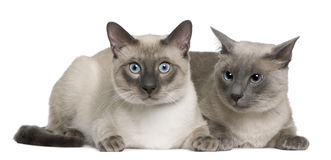 Siamese cat, 3 years old and 8 months old, lying Stock Image