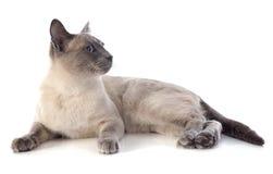 Siamese Cat Stock Photo