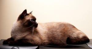 Free Siamese Cat Royalty Free Stock Image - 51182676