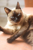 Siamese cat. On the background of analogous color Royalty Free Stock Photo