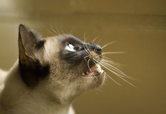 Siamese cat. Head of a small siamese cat Royalty Free Stock Photos