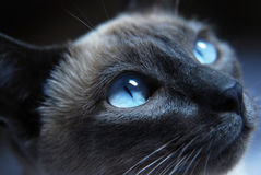 Siamese Cat. Close up to Siamese cat with blue eyes Royalty Free Stock Photo