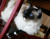 Siamese Cat. A view of a furry Siamese cat with blue eyes royalty free stock image
