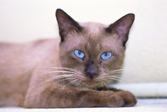Siamese cat. Temple cat from Thailand stock photo