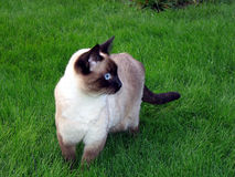 Siamese cat. In the grass Stock Image