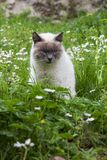 Siamese cat adult sitting in grass with flowers. In Italy stock photography