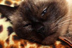 Siamese cat asleep. Happy Siamese cat sleeping peacefully stock images