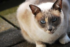 Siamese cat on the balcony Stock Image