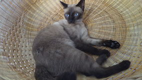 Siamese cat in bamboo basket Royalty Free Stock Photos