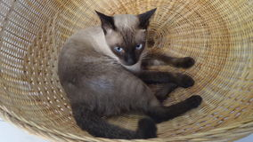 Siamese cat in bamboo basket Stock Images