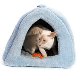 Siamese cat in basket Royalty Free Stock Photo