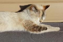 Siamese cat basking in the sun. Siamese cat basking at the sun stock image
