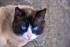 Siamese cat with beautiful blue eyes and a wise look. The homeless cat Royalty Free Stock Photos