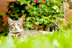 Siamese cat, beautiful and cute cat of Thailand Royalty Free Stock Photos