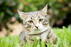 Siamese cat, beautiful and cute cat of Thailand Stock Photography
