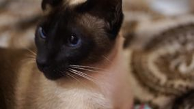 Siamese cat stock footage