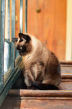 Siamese cat Royalty Free Stock Images