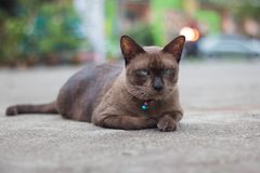 Siamese cat with a bell around his neck stock images