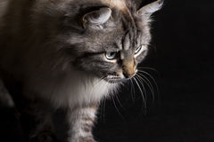 Siamese cat on a black background hunts Stock Photo