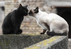 Siamese cat and black cat. Are watching stock images