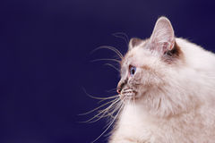 Siamese cat Royalty Free Stock Photography