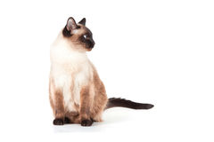 Siamese cat with blue eyes Royalty Free Stock Photo