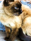 Siamese cat with blue eyes close-up stock photos