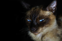 Siamese cat with blue eyes in the dark Royalty Free Stock Photography