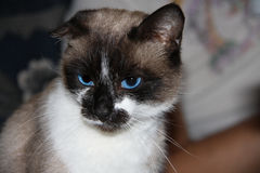 Siamese cat with blue eyes, facial close up Royalty Free Stock Images