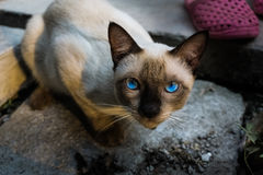 A Siamese cat Stock Image