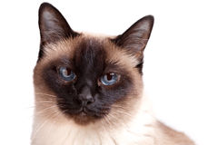 Siamese cat with blue eyes looks in camera Royalty Free Stock Photos