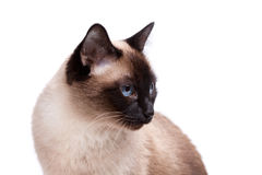 Siamese cat with blue eyes looks right Royalty Free Stock Images