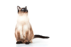 Siamese cat with blue eyes looks upwards Royalty Free Stock Photos