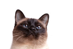 Siamese cat with blue eyes looks upwards Stock Photography
