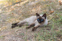 Siamese cat with blue eyes lying on the earth Stock Photos
