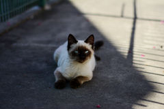 Siamese cat with blue eyes lying on the sidewalk. Siamese cat resting his shadow on the sidewalk in a winter day in Brazil.rn Stock Photo