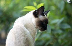 Siamese cat with blue eyes sits in the garden. Siamese cat with bright blue eyes royalty free stock photography