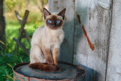 Siamese cat with blue eyes sitting on a rusty cask in summer garden Stock Images